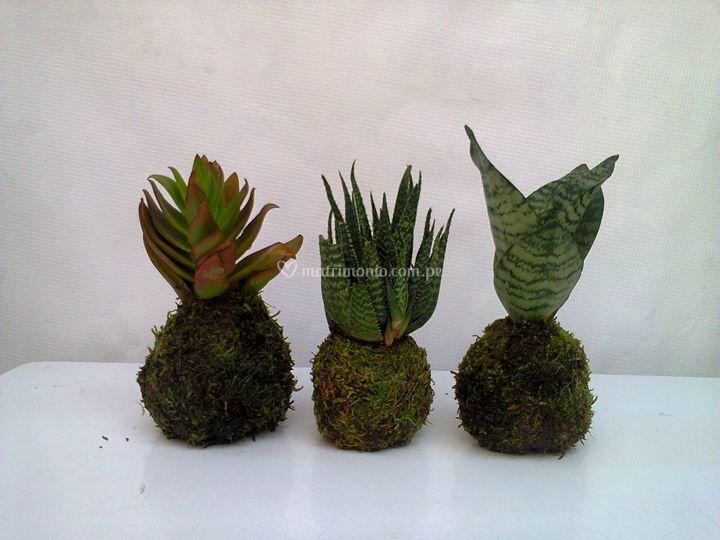 Mimi kactus