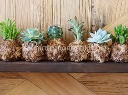Kokes kactus variados