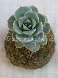 Kactus rosa verde