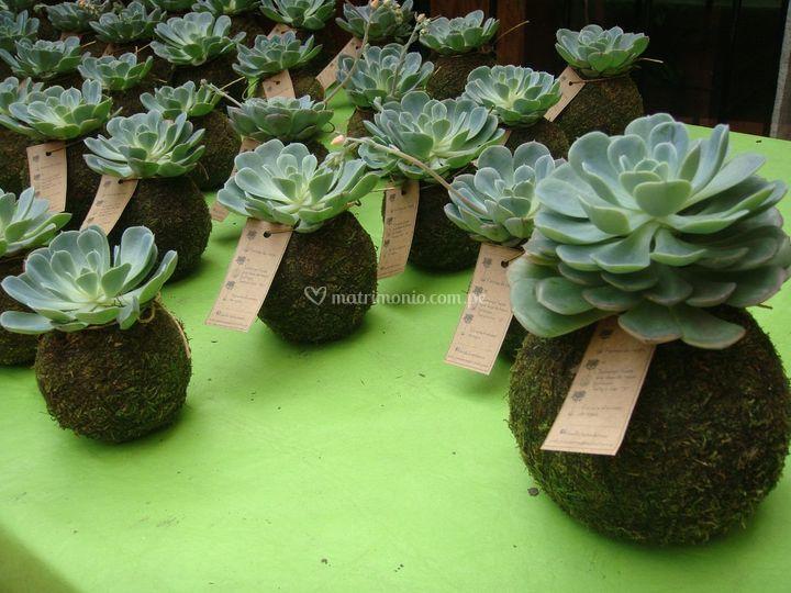 Kokedamas plantas y musgo for Suculentas santiago