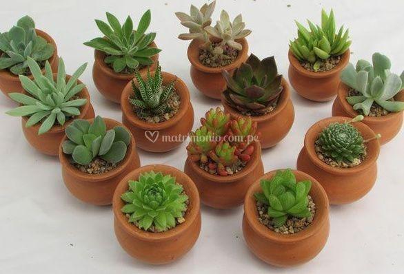 Haru - Suculentas & Cactus