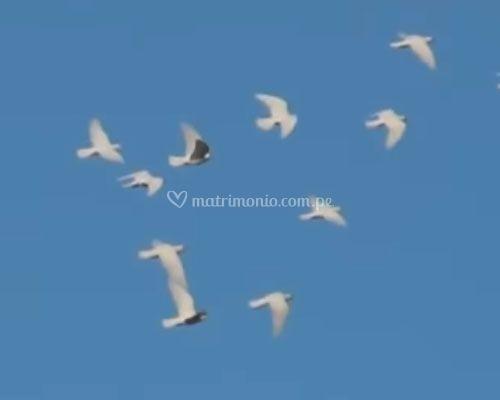 Vuelo de palomas