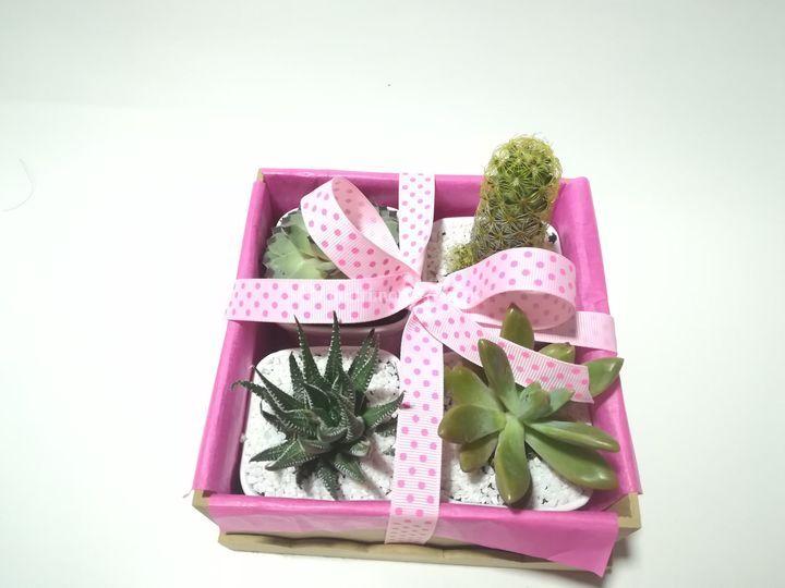 Suculenta box