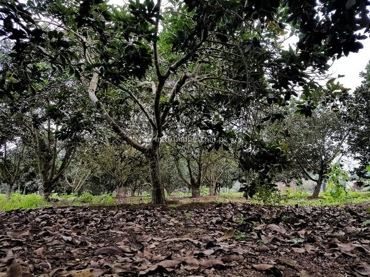 Bosques de lúcuma