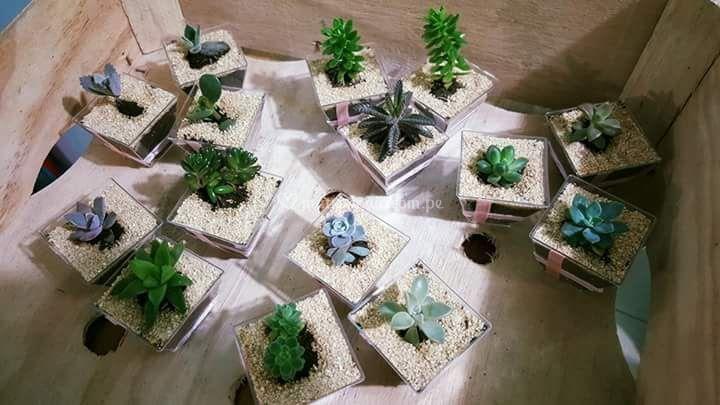 Suculentas con piedras