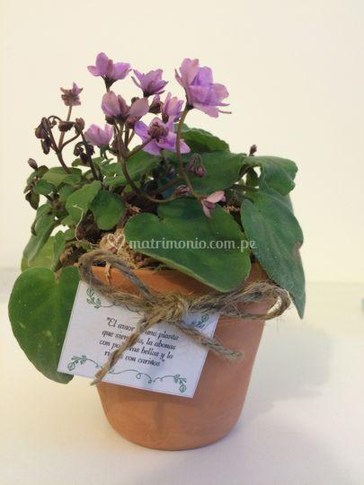 Mini violetas africanas