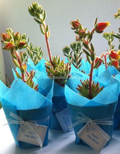 Echeveria turquesa