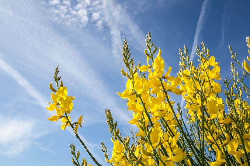 https://cdn0.matrimonio.com.pe/img_g/articulos-a-fotos/decoracion/flor-de-retama-amarillo-flores.jpg