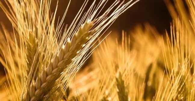 Paja de trigo xD en realidad no sé como se dice exactamente