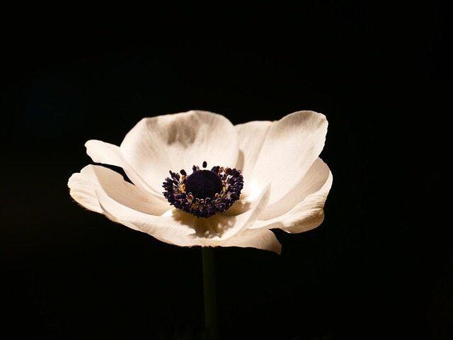 Flores de boda - anemonas - 1